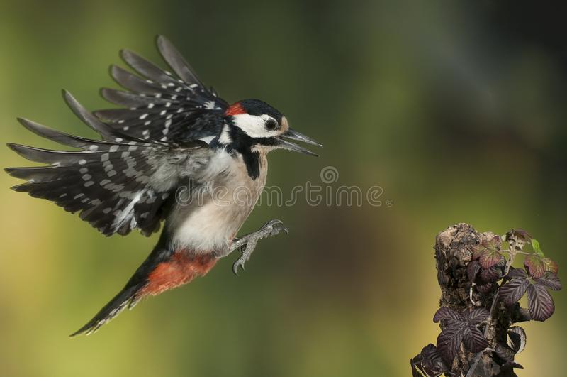 Больший запятнанный Woodpecker летая Dendrocopos главное стоковое изображение rf