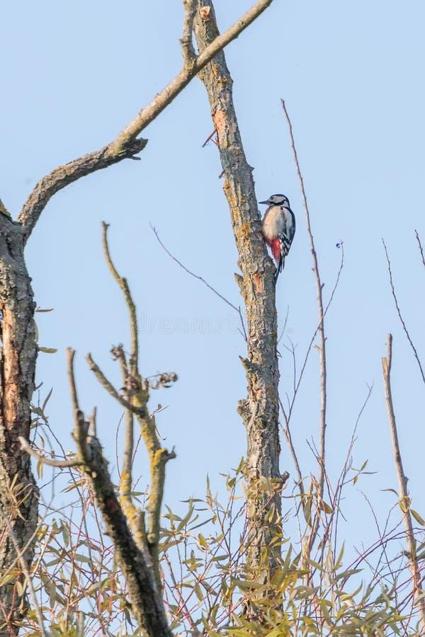 Больший запятнанный Woodpecker на дереве Dendrocopos главном стоковые изображения