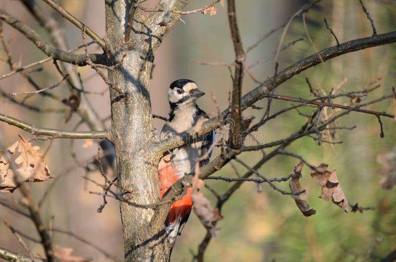 Больший запятнанный woodpecker сидит на дереве Dendrocopos главном стоковое фото rf