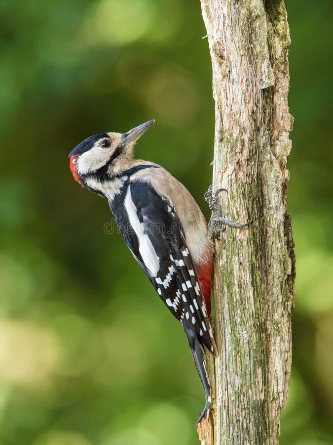 Больший запятнанный Woodpecker, Dendrocopos главное сидит на ветви дерева стоковая фотография rf