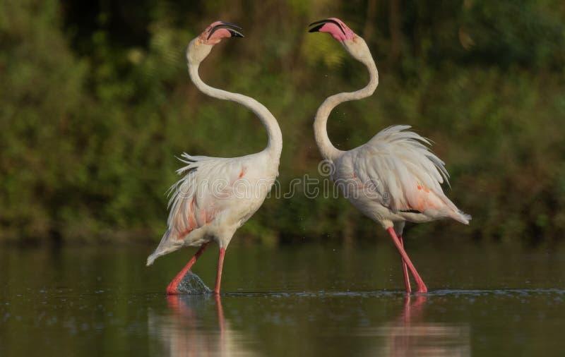 Больший фламинго воюя для еды на Гуджарате, Индии стоковые фото