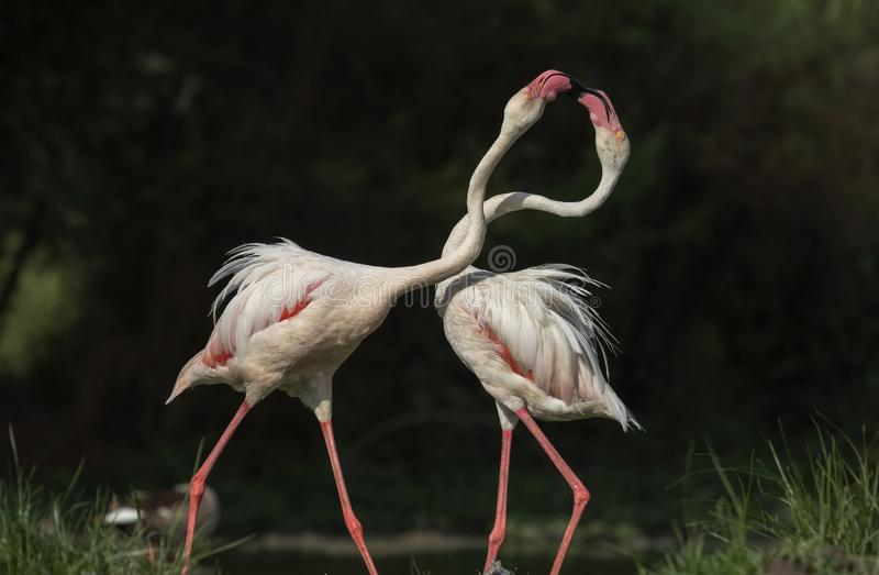 Больший фламинго в воюя бое для еды в предыдущем золотом утре на Гуджарате, Индии стоковые изображения