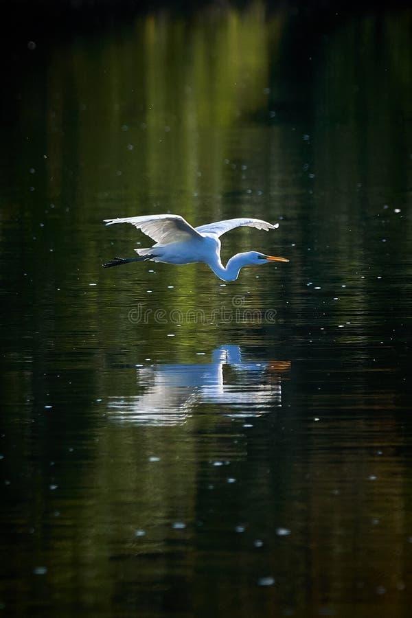 Больший egret в полете над водой стоковое изображение