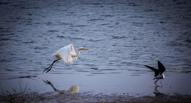 Больший Egret летая от озера стоковое изображение rf