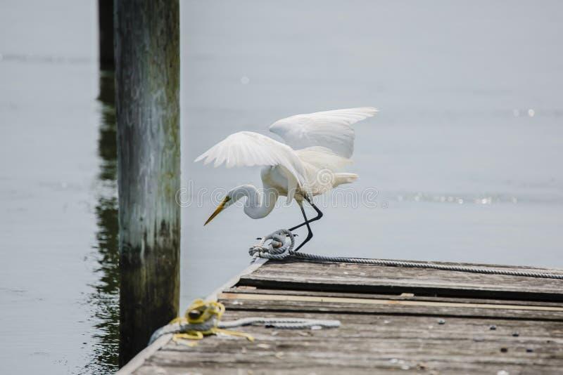 Больший Egret подготавливая нырнуть с дока стоковые изображения rf