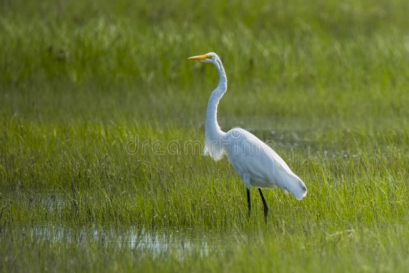 Больший Egret стоя в болоте стоковое изображение rf