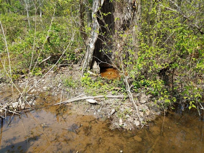 2 больших лягушки и вода и полости дерева стоковое изображение rf