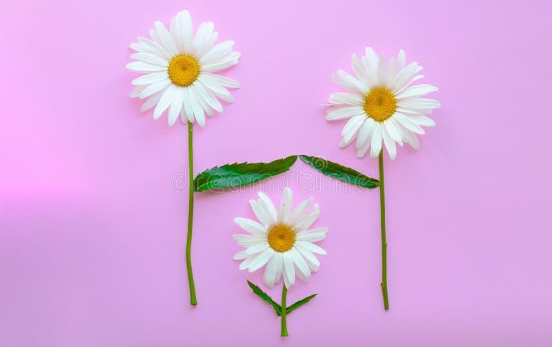 3 больших маргаритки на розовой предпосылке Маргаритки символизируют родителей и детей Родители защитить и полюбить ребенка стоковое изображение rf