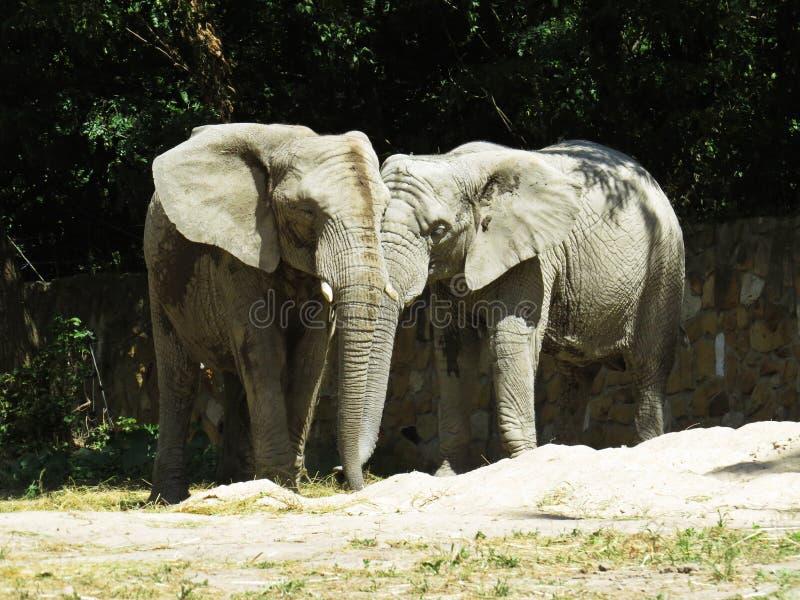 2 больших огромных слона совместно в конце влюбленности стоковое фото rf
