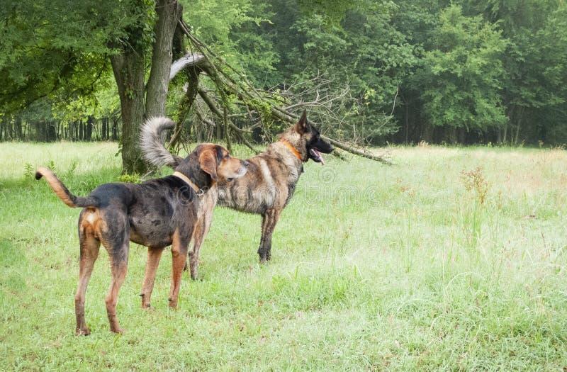 2 больших собаки в луге, выглядя бдительный стоковые фото