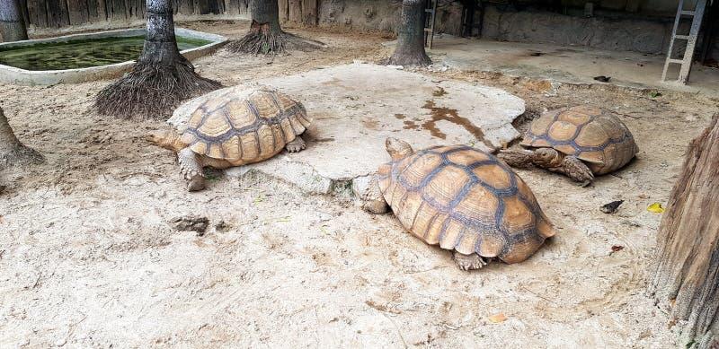 3 больших черепахи идя медленно на землю с космосом экземпляра стоковая фотография