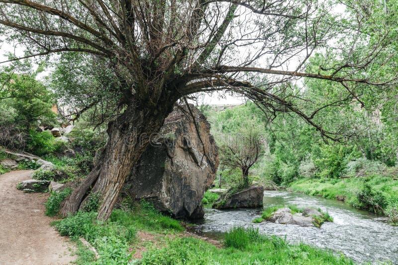 большое дерево между тропой и быстрым рекой стоковые изображения