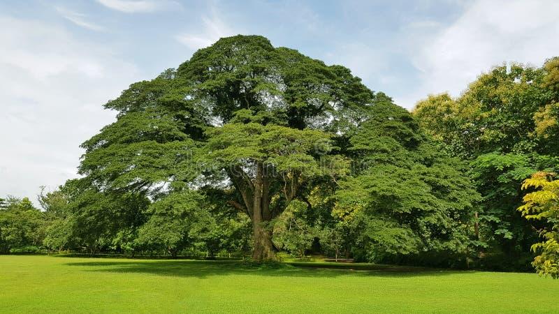 Большое дерево стоковое изображение