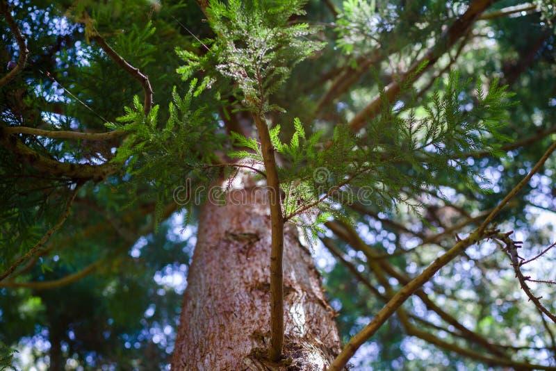Большое дерево Redwood на солнечный день в Golden Gate Park, Сан-Франциско стоковые изображения