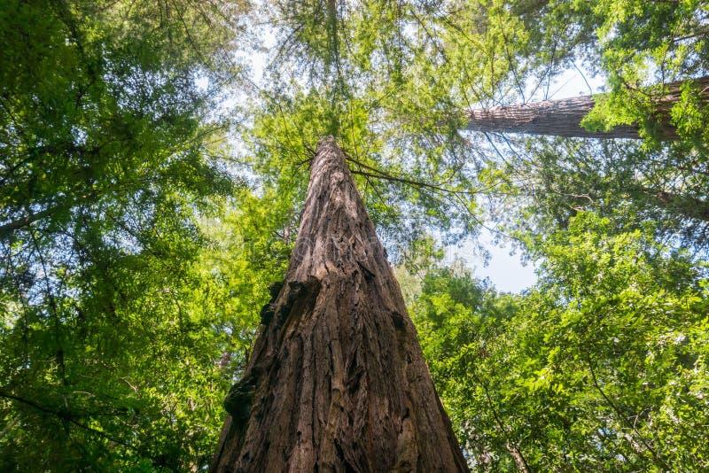 Большое дерево Redwood, парк Pescadero Creek County, область San Francisco Bay, Калифорния стоковые фотографии rf