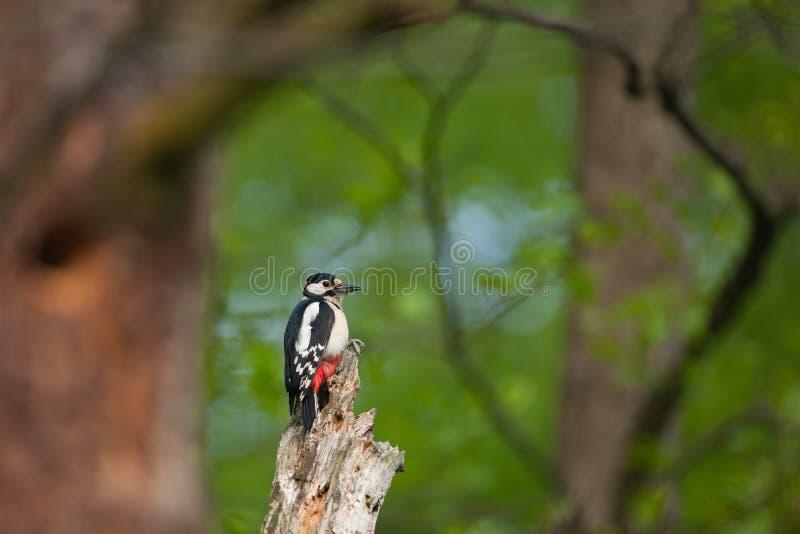 Большое запятнанное усаживание Dendrocopos Woodpecker главное на старом дереве стоковое фото rf
