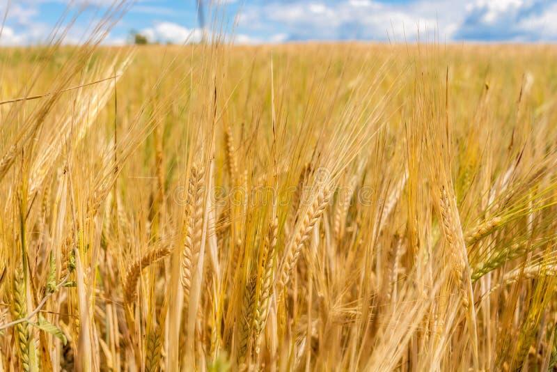 Большое золотое пшеничное поле Кумулюс на ясном голубом небе E Концепция чистоты Естественные заводы стоковая фотография