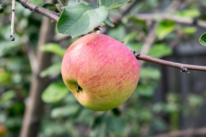 Большое зрелое яблоко висит на ветви стоковые фото