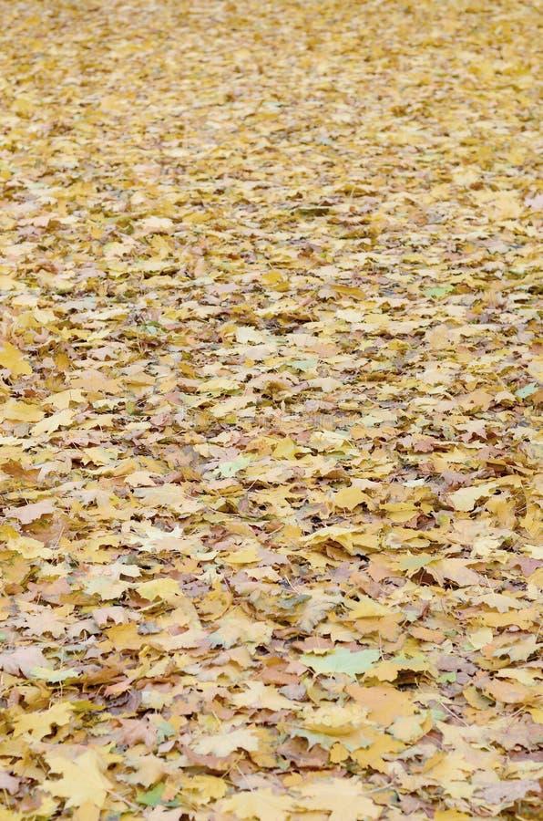 Большое количество упаденных и пожелтетых листьев осени на том основании Текстура предпосылки осени стоковые изображения