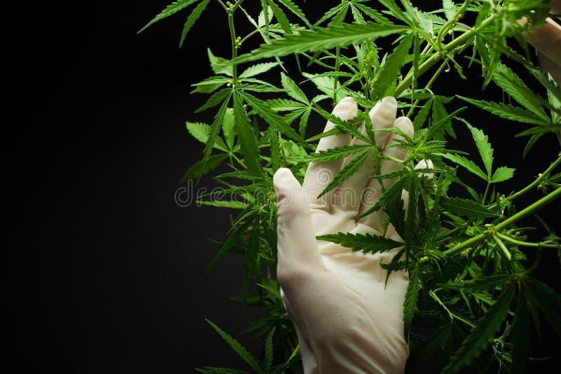 Большое фото конопли высота марихуаны