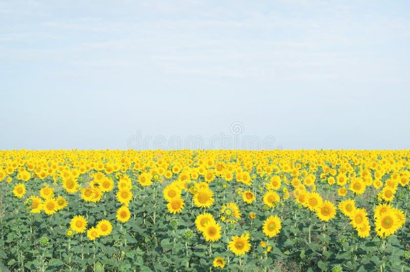 Большое красивое поле с заводом солнцецвета стоковые фото