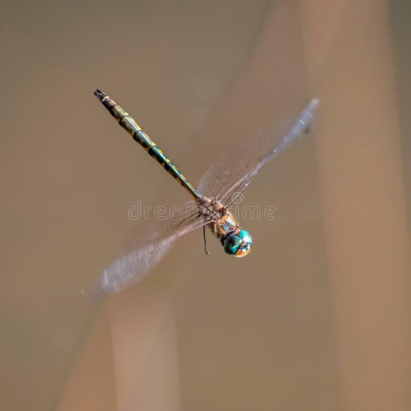 Большое летание мухы дракона стоковая фотография