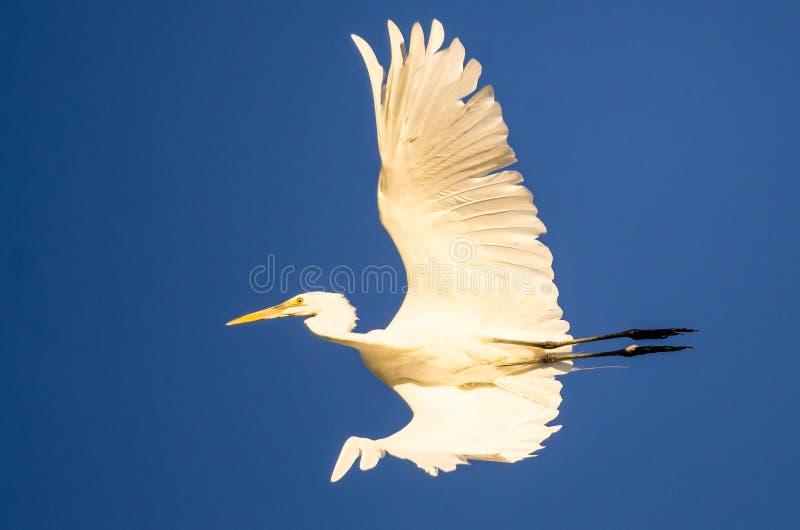 Большое летание Egret в голубом небе стоковое изображение rf