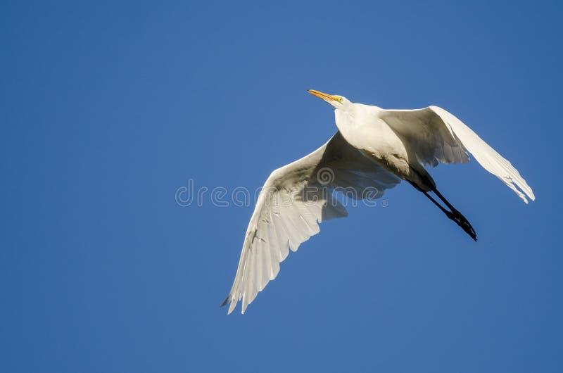 Большое летание Egret в голубом небе стоковые фотографии rf