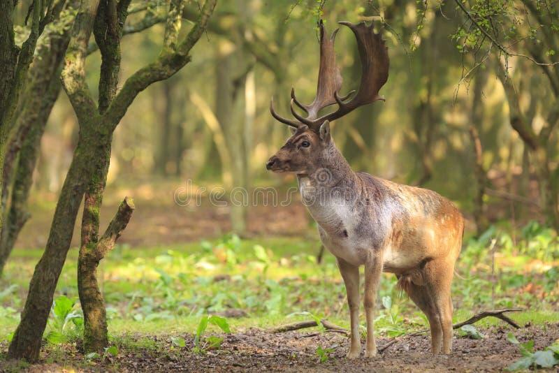 Большое рогач ланей с большими antlers идя в лес стоковые фотографии rf