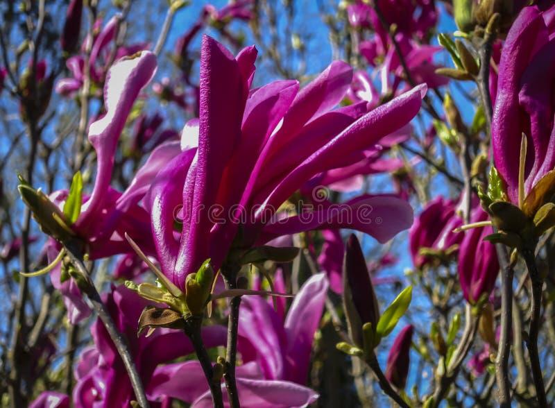 Большое розовое stellata магнолии liliiflora x магнолии Сьюзан магнолии цветков на ясный солнечный день стоковое фото rf