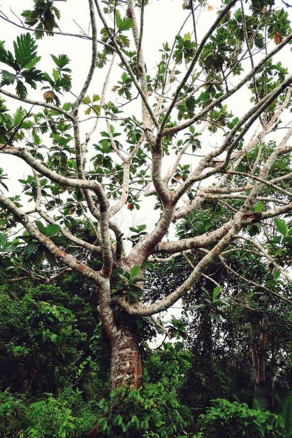 Большое тропическое дерево с листьями запасных частей стоковые изображения rf