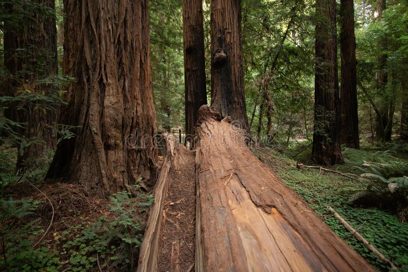 Большое упаденное дерево Redwood в национальном парке древесин Muir стоковые изображения rf