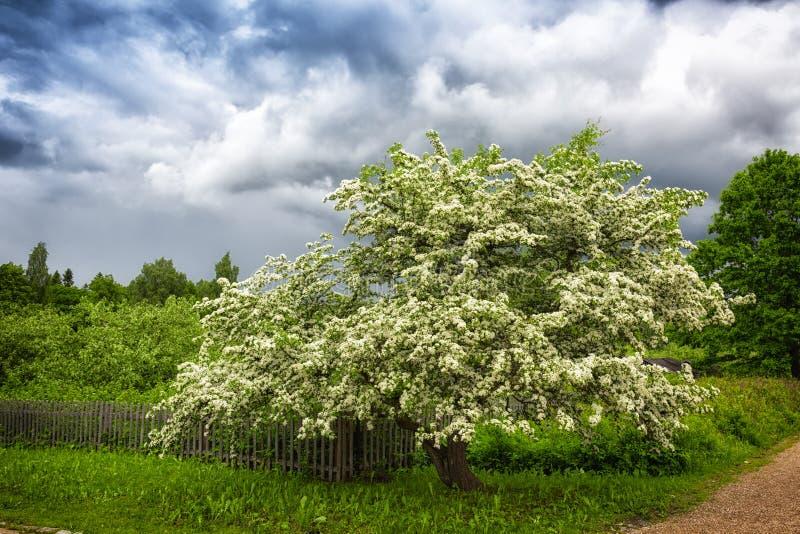 Большое цветя дерево стоковое фото rf