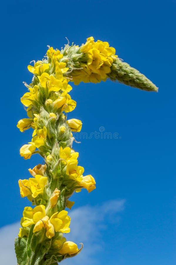 Большое Mullein, thapsus Verbascum, желтый шип цветка, голубое небо стоковая фотография rf