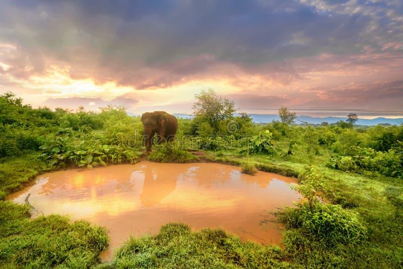 Большой азиатский слон в национальном парке Udawalawe, Шри-Ланке стоковые фото