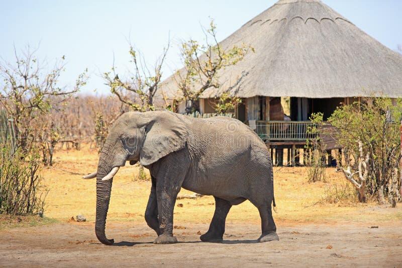 Большой африканский слон идя через африканский лагерь с покрыванным соломой rondavel на заднем плане, национальный парк Hwange, З стоковые фотографии rf