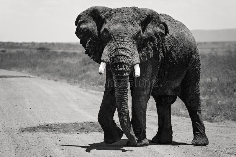 Большой африканский слон самостоятельно вдоль дороги в Maasai Mara Кении, Африке стоковое фото