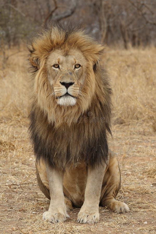 Большой африканский смотреть льва стоковая фотография