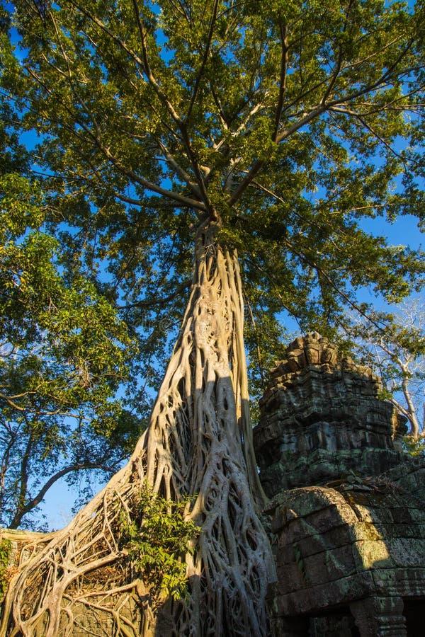 Большой баньян растет на древнем храме в Angkor Wat, Сиаме ужинает, Камбоджа стоковые фото