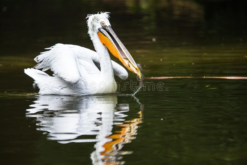 Большой белый пеликан также известный как восточный белый пеликан стоковая фотография