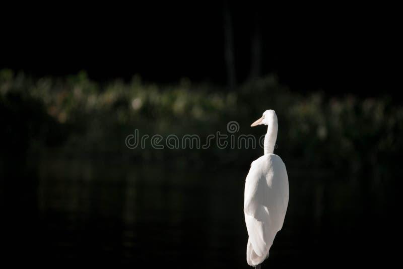 Большой белый разведчик Egret стоковые фотографии rf