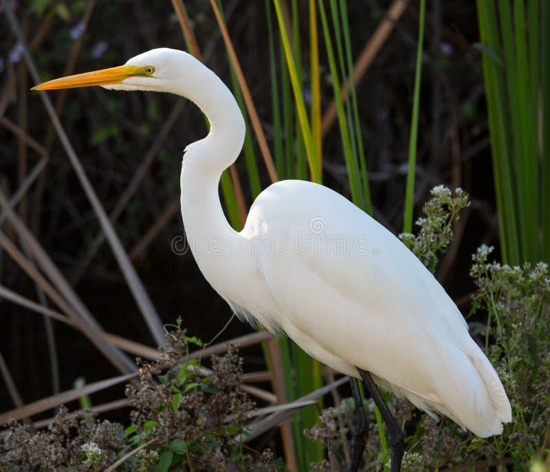 Большой белый egret в парке болотистых низменностей Флориды стоковое фото rf