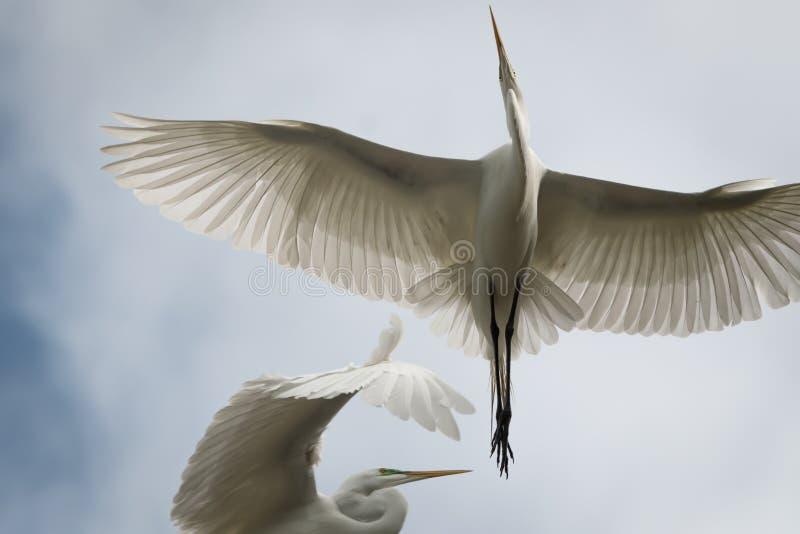 Большой белый Egret летания стоковые изображения rf