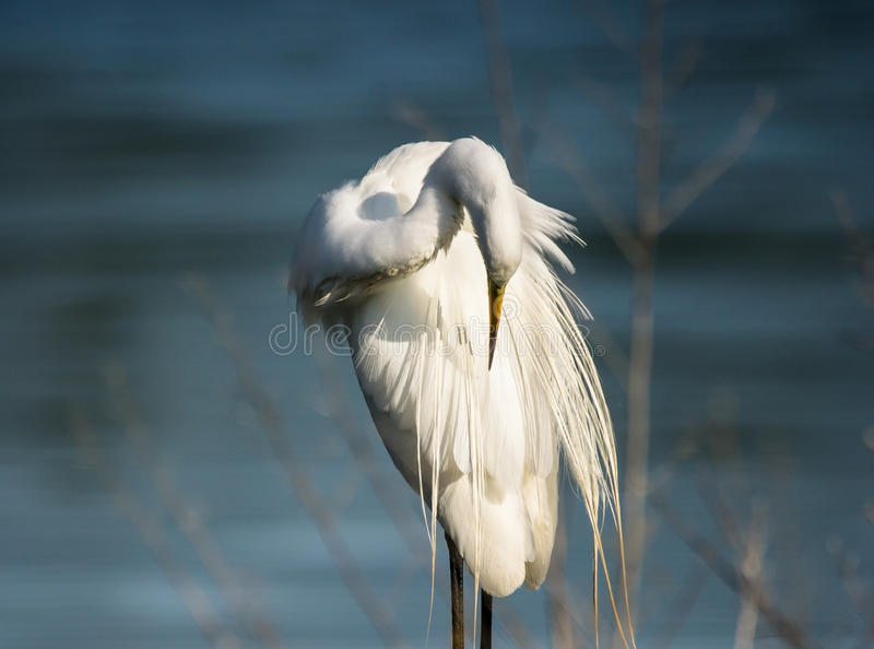 Большой белый egret очищая свои пер стоковое фото rf