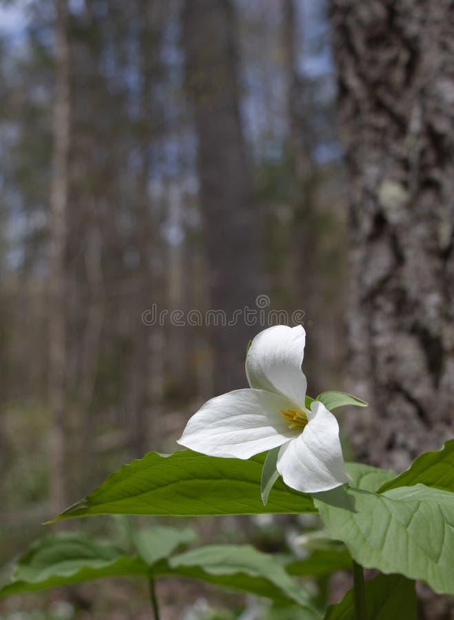 Большой белый Trillium в цветени в парке наконечника стоковые фотографии rf