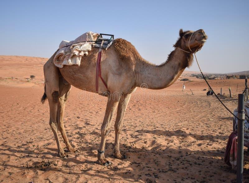 Большой верблюд в пустыне стоковые изображения rf