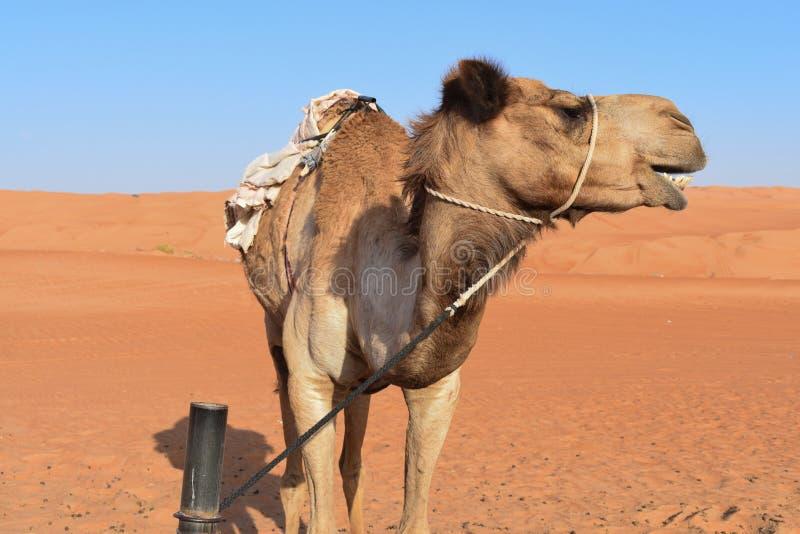 Большой верблюд в пустыне стоковые фотографии rf
