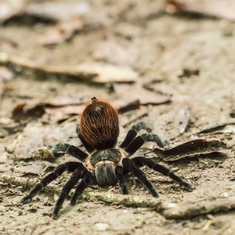 Большой волосатый паук готовый для нападения стоковая фотография rf