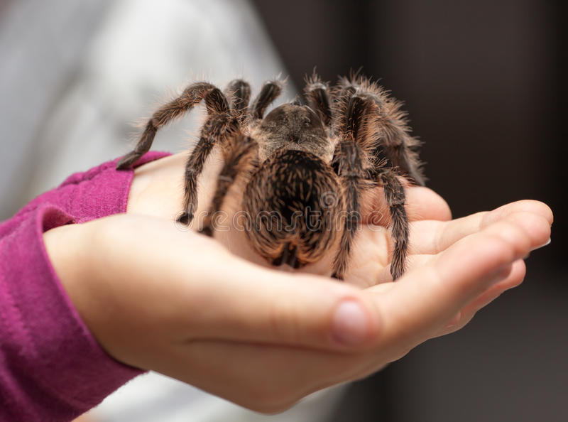 Большой волосатый tarantula стоковые изображения rf
