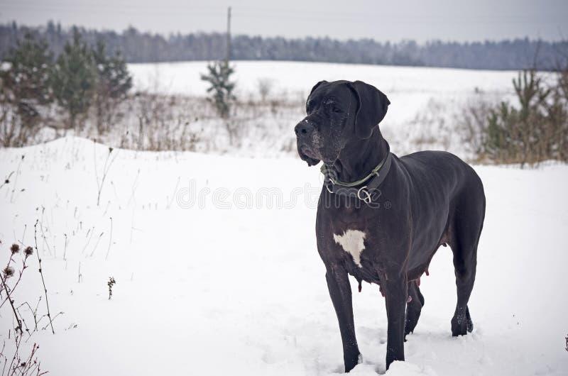 Большой датчанин на снеге стоковые фотографии rf
